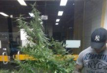 PM apreende pé de maconha e tabletes da droga em Cabo Frio