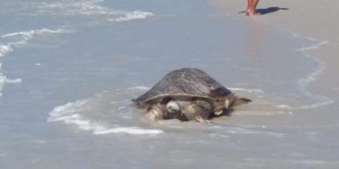 Tartaruga é encontrada morta na Praia das Dunas, em Cabo Frio, nesta quarta