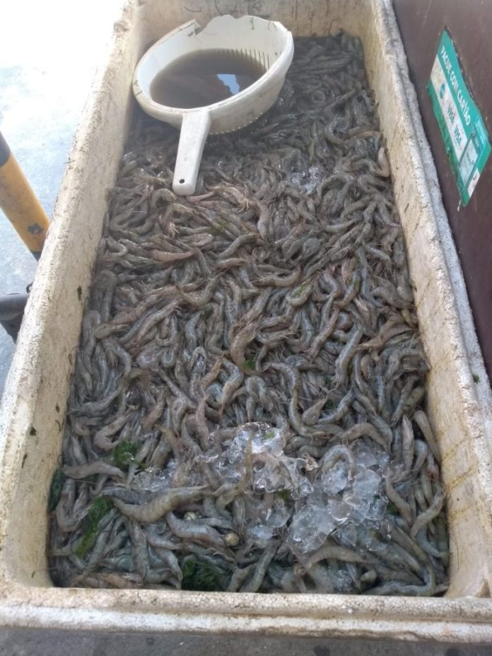 Camarão estava sendo comercializado na Avenida Teixeira e Souza, no Centro de Cabo Frio. Foto: Divulgação/ Prefeitura de Cabo Frio